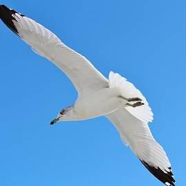 Cynthia Guinn - A Beautiful Seagull