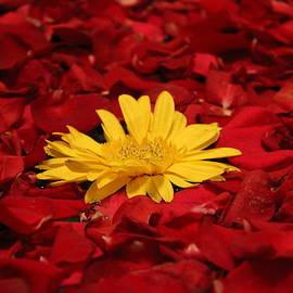 Nageshwar Tiwari - A Beauty of Rose Petals and Yellow Daisy