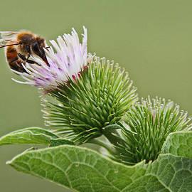 Deborah  Bowie - A Bee with Common Burdock