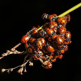 Lee Kirchhevel - A Bunch of Ladybugs
