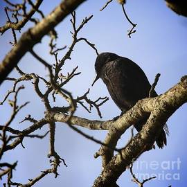 Tania Morris - A crow looks on