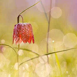 Roeselien Raimond - A Fairies