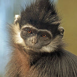 Jim Fitzpatrick - A Francois Langur Monkey or Marvin the Martians Cousin