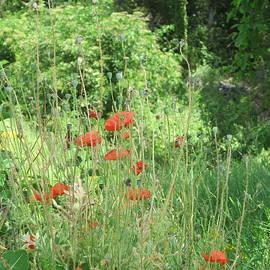Pema Hou - A Glimpse of Poppies