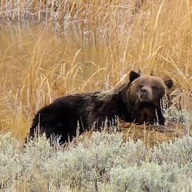 Jeff Swan - A grizzily on a buffalo carcass
