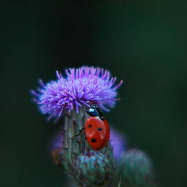 Jeff  Swan - A lady bug climbing a thistle