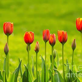 Leyla Ismet - A Line Of Yellow and Orange Tulips