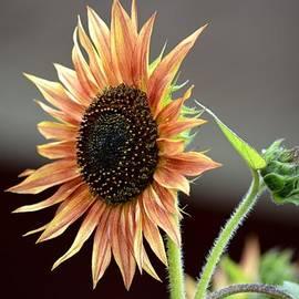 Karen  Majkrzak - A New Sunflower