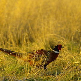 Jeff  Swan - A pheasant sneaking around