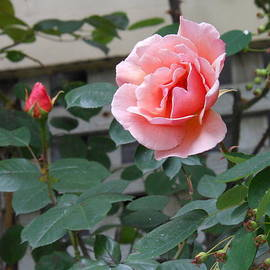 Kay Gilley - A Pink Rose