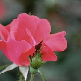 Karen  Majkrzak - A Pink Rose Still Life