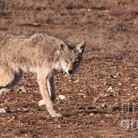 Janice Rae Pariza - A Predator Coyote Stalking Prairie Dogs