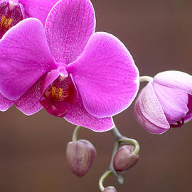 Rumyana Whitcher - A Purple Orchid Flower