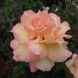 Ed Sykes - A Rose in the Rain