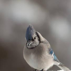 Jeff Folger - A Blue Jay sits waiting