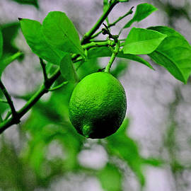 Joseph Coulombe - A Single Lime
