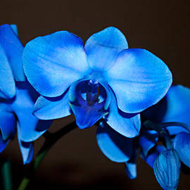 Sherry Hallemeier - A Stem of Beautiful Blue Orchids