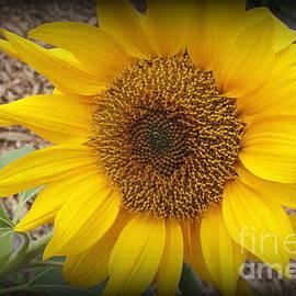 Photographic Art and Design by Dora Sofia Caputo -  October Sunflower