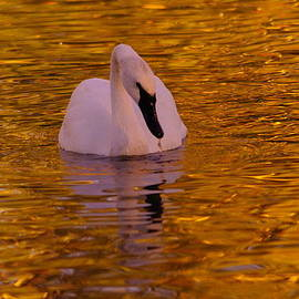 Jeff Swan - A Swan on Golden Waters