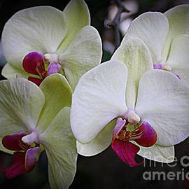 Photographic Art and Design by Dora Sofia Caputo - A Touch of Color - White Orchids