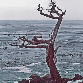 ImagesAsArt Photos And Graphics - A Tree Shaped By Coastal Winds