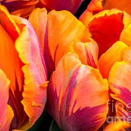 Sabine Edrissi - A Tulip named Princess Irene - by Sabine Edrissi