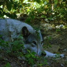 Jeff  Swan - A Wolf Naps