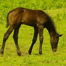 Jeff Swan - A YOUNG COLT GRAZING