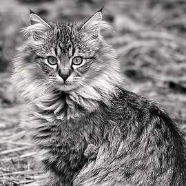 Rona Black - A Young Maine Coon