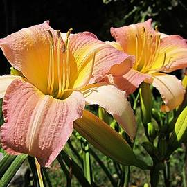 MTBobbins Photography - Abalone Daylily Pair