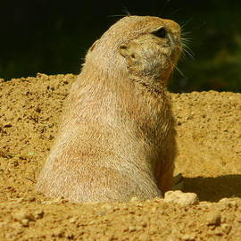 Emmy Marie Vickers - Above Ground View - Black-Tailed Prairie Dog