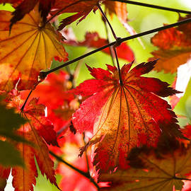 Anne Gilbert - Acer japonicum O isami