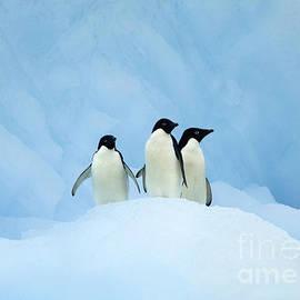 Rosemary Calvert - Adelie Penguins on iceberg