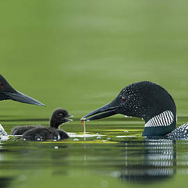 Loon  Images - Adult and Chick Loon Pictures 4