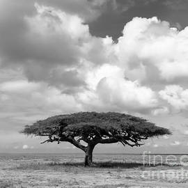 Chris Scroggins - African Acacia Tree