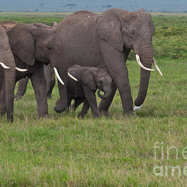 Beth Wolff - African Elephant family