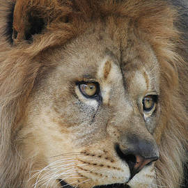 Judy Whitton - African Lion #5