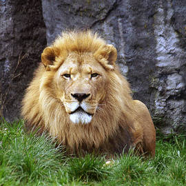 Jessica Foster - African Lion Resting in the Grass