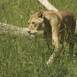 Tracy Winter - African Lion