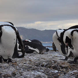 Devan M - African Penguins