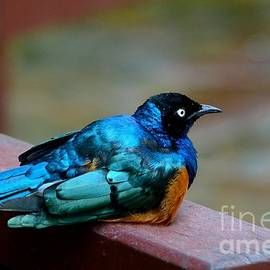 Imran Ahmed - African Superb Starling bird rests on wooden beam