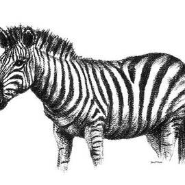 David Rabie - African Zebra