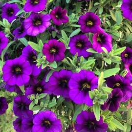 Cristina Stefan - Purple Petunia