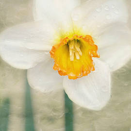 Kim Hojnacki - After the Rain - Daffodil Flower