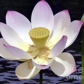 Barbie Corbett-Newmin - Aging Lotus