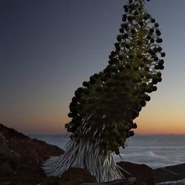 Sharon Mau - Ahinahina - Silversword - Argyroxiphium sandwicense - Summit Haleakala Maui Hawaii
