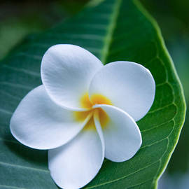 Sharon Mau - Ahui Pua Melia O Waianapanapa - Tropical Plumeria