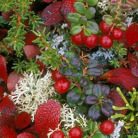 Arterra Picture Library - Alaskan berries 2