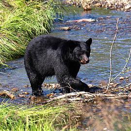 Jessica Foster - Alaskan Black Bear Hunting in a River