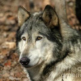 Deborah  Smith - Alaskan Timber Wolf Portrait
